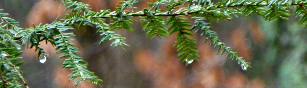 cropped-2013-0101-raindrop-on-evergreen