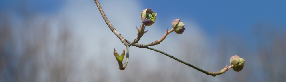 cropped-2013-0405-dogwood-on-hole-4