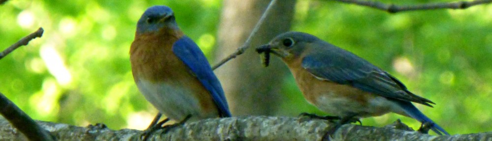 cropped-2013-0422-bluebirds-worm