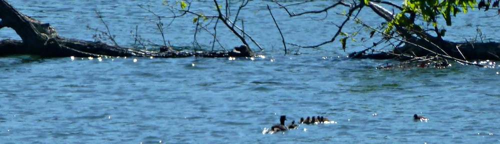 cropped-2013-0512-ducks-or-loons