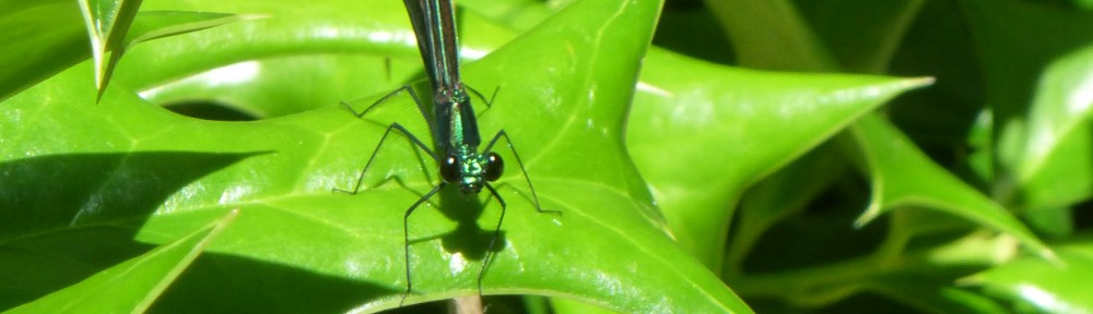 cropped-2013-0621-damselfly