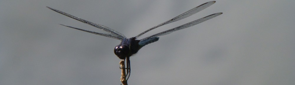 cropped-2013-07-dragonfly2