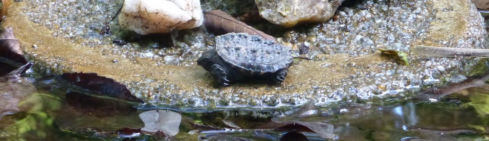 cropped-2013-0930-snapping-turtle-side