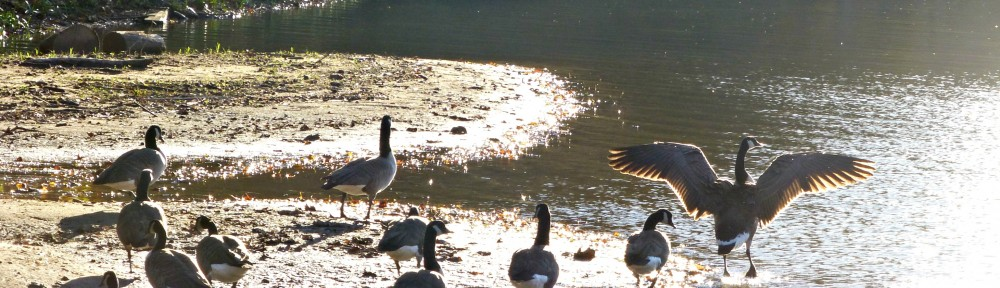 cropped-2013-1101-canada-geese