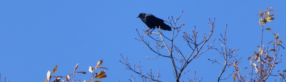 cropped-2013-1111-crow