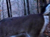 cropped-2013-0102-deer-gm-tail