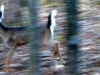 cropped-2013-0107-deer-running