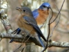 cropped-2013-0221-bluebirds-on-limb