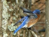 cropped-2013-0307-bluebird