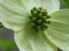 cropped-2013-04-dogwood