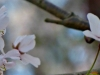 cropped-2013-0401-cherry-blossoms