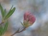 cropped-2013-0412-wild-azalea-5