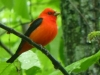 cropped-2013-05-tanager