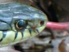 cropped-2013-0517-snake-tongue-11