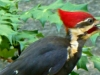cropped-2013-0523-pileated-woodpecker-berry-pic-monkey-header