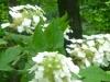 cropped-2013-06-oakleaf-hydrangea