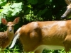 cropped-2013-08-fawn-doe