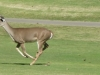 cropped-2013-1012-deer-running-hole-5