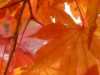cropped-2013-1117-maple-leaves
