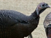 cropped-2013-1119-turkeys