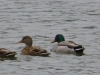 cropped-2013-1215-four-ducks