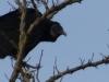 cropped-p1140339-2013-1201-turkey-buzzard-horse-park
