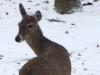 2015-03 deer snow.jpg