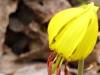 2015-0407-trout-lily-1000x288.jpg