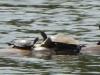 2015-0411 turtles.jpg