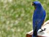 2015-0412-bluebird-wasp-1000x288.jpg