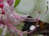 2015-0414-butterfly-wild-azalea-1000x288.jpg