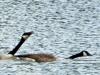 2015-0422-honking-geese-x-1000x288.jpg