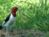 2015-0522-redheaded-woodpecker-header-1000x288.jpg