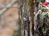 2015-06 sapsucker-facing-camera-1000x288.jpg
