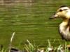 2015-0618-duckling-header-1000x288.jpg