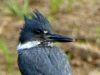 2015-0706-kingfisher-header-1000x288.jpg