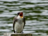 2015-0723-swallow-header-1000x288.jpg