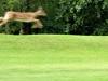 2015-0831-fawn-leaping1-1000x288.jpg