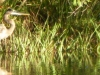 2015-1007-great-blue-heron-1000x288.jpg
