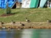2015-1220-geese-new-cedar-trees-1000x288.jpg