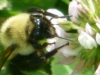 cropped-2016-0605-bee-clover-1000x288.jpg