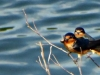 cropped-2016-0628-barn-swallows-header-1000x288.jpg