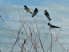cropped-2016-0630-barn-swallow-bush-dam-header-1000x288.jpg