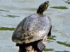 cropped-2016-0720-red-eared-slider-turtle-1000x288.jpg
