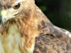 cropped-2016-0801-red-tail-hawk-header-1000x288.jpg