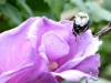 cropped-2016-0821-rose-of-sharon-bee-header-1000x288.jpg