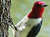cropped-2017-0309-redheaded-woodpecker-header-1000x288.jpg