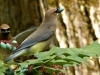 cropped-2017-0413-cedar-waxwings-mahonia-masked-avenger-header-1000x288.jpg