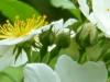 cropped-2017-0416-cherokee-rose1-1000x288.jpg