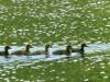 cropped-2017-0420-geese-goslings-header-1000x288.jpg